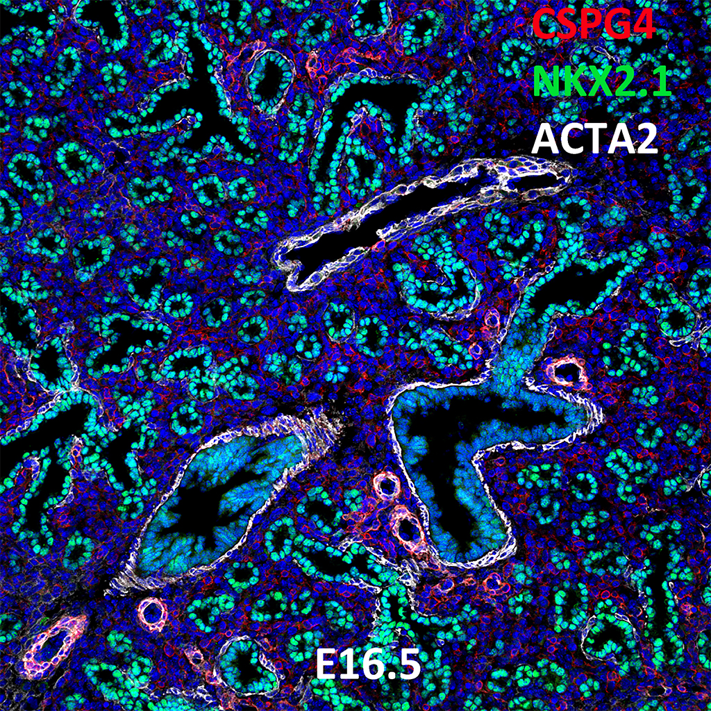 E16.5 Immunofluorescence and Confocal Imaging Showing Expression of CSPG4, NKX2.1, and ACTA2
