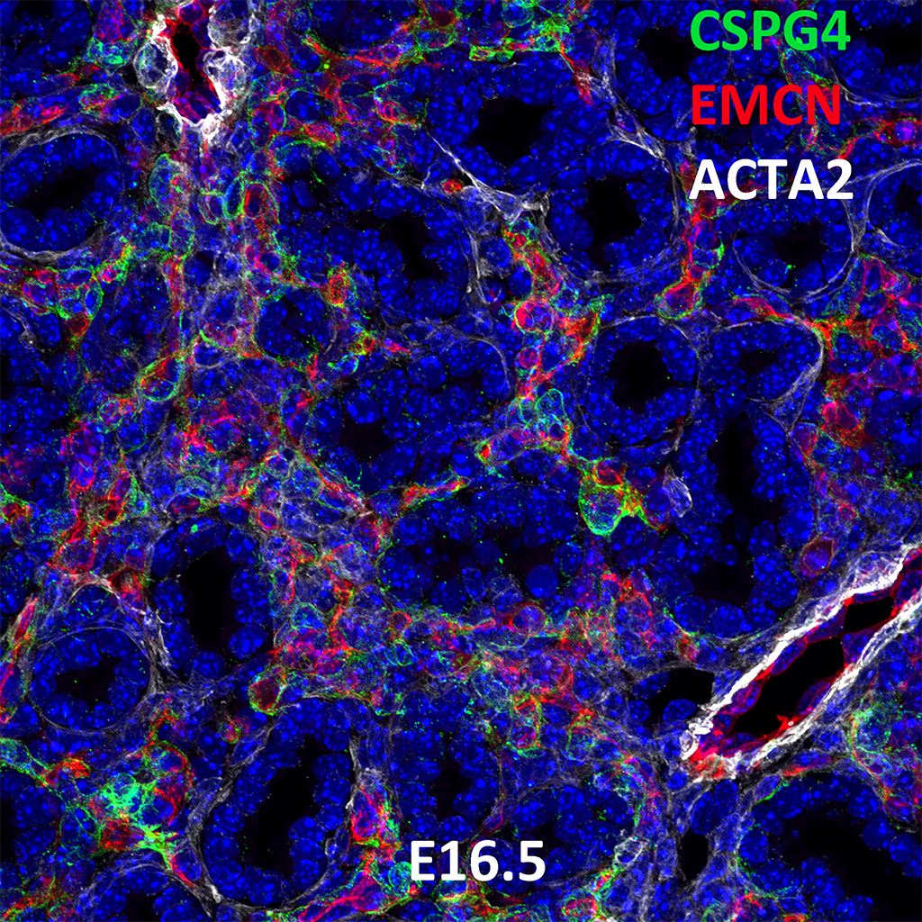 E16.5 Immunofluorescence and Confocal Imaging Showing Expression of CSPG4, EMCN, and ACTA2