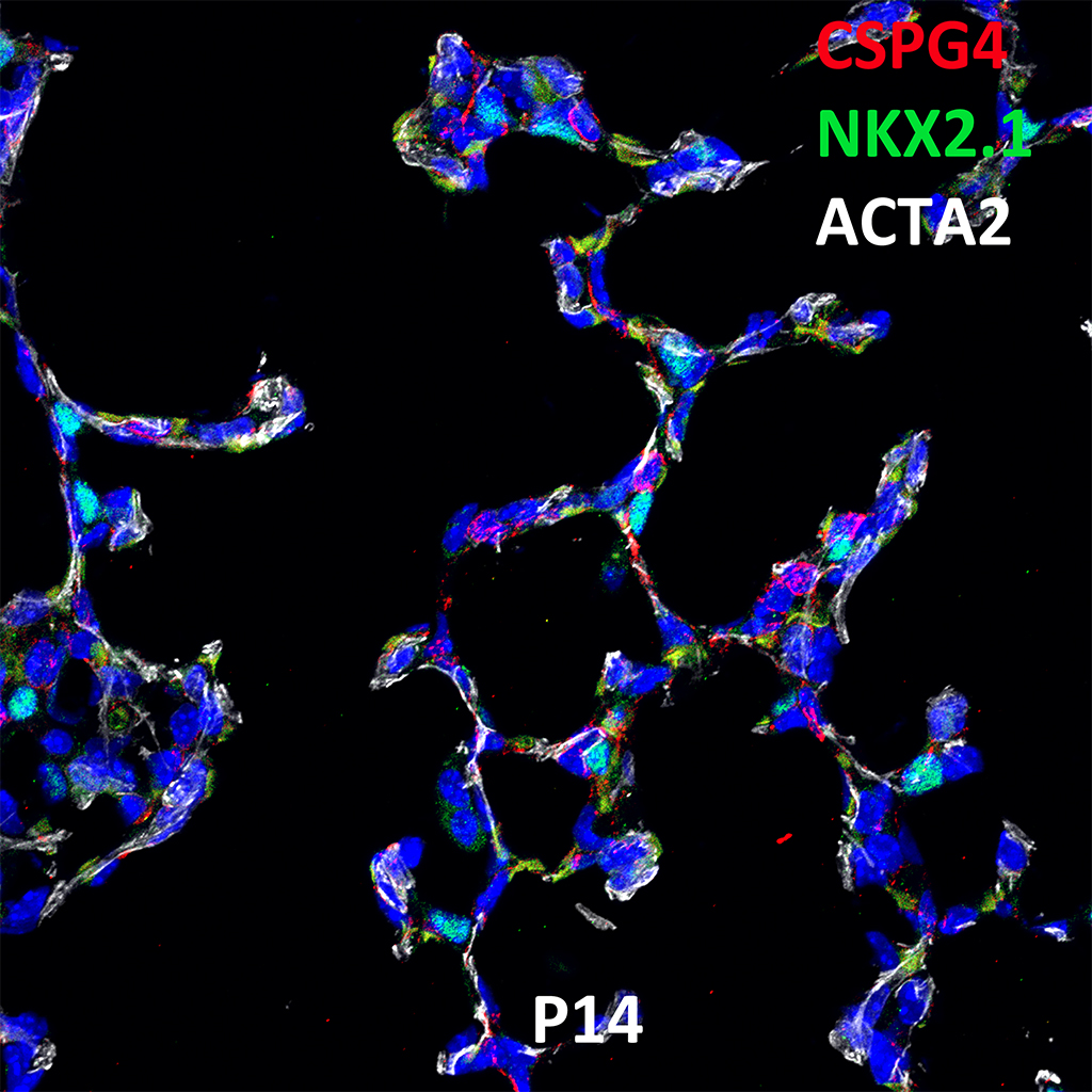 Post Natal Day 14 Confocal Imaging Showing Protein Expression of Cspg4, Nkx2.1, and Acta2 Genes