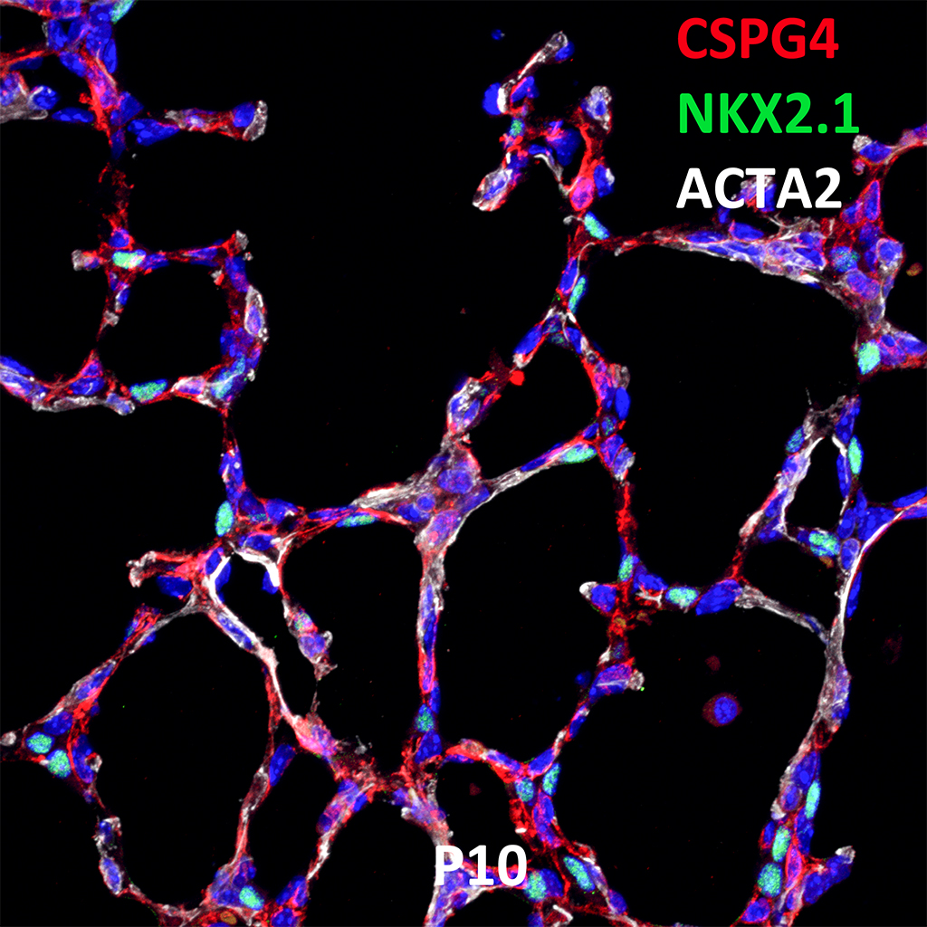 Postnatal Day 10 Confocal Imaging Showing Protein Expression of CSPG4, NKX2.1, and ACTA2 Genes