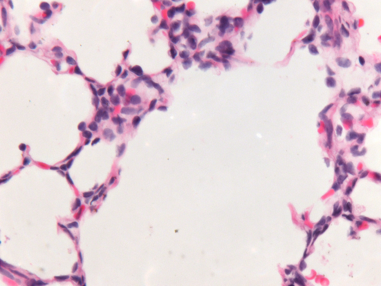 Fetal Monkey Lung H&E LMR14.6.4.3 Gestational day 130